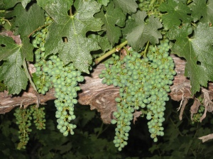 Cabernet Clusters July 1st 2009